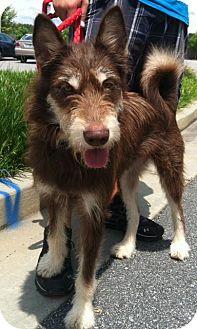 Husky/Terrier (Unknown Type, Medium) Mix Dog for adoption in Winder, Georgia - Maddie