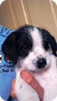 Terrier (Unknown Type, Small) Mix Puppy for adoption in Kalamazoo, Michigan - Cicero
