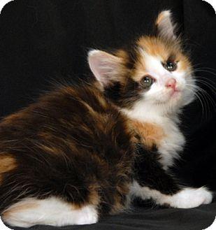 Calico Kitten for adoption in Newland, North Carolina - Harp