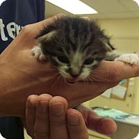 Adopt A Pet :: Cleo - Edmonton, AB
