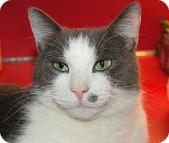 Domestic Shorthair Cat for adoption in Centre Hall, Pennsylvania - Jacob
