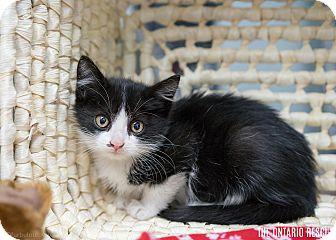Domestic Shorthair Kitten for adoption in Montclair, California - Ferris