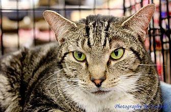 Domestic Shorthair Cat for adoption in Richmond, Virginia - Leo
