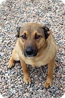 Labrador Retriever/Shepherd (Unknown Type) Mix Dog for adoption in Westminster, Colorado - Chanel