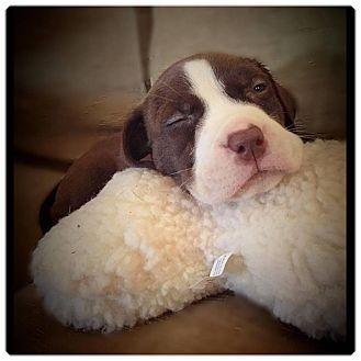 Labrador Retriever/Terrier (Unknown Type, Medium) Mix Puppy for adoption in Charlotte, North Carolina - Summer