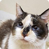 Adopt A Pet :: Vivian Leigh - Trevose, PA