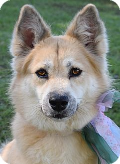 Chow Chow/Spitz (Unknown Type, Medium) Mix Dog for adoption in Denver, Colorado - Sofie *ADOPTION PENDING*