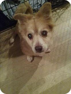 Pomeranian/Dachshund Mix Dog for adoption in Englewood, Colorado - Calvin