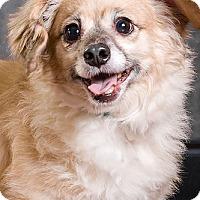 Adopt A Pet :: Gris - Owensboro, KY