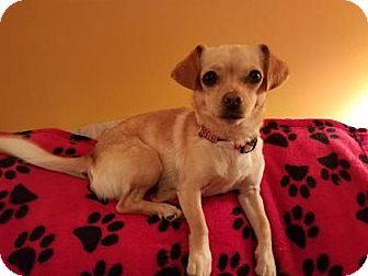 Chihuahua Mix Dog for adoption in Cincinnati, Ohio - ChiChi