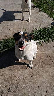 Rat Terrier/Jack Russell Terrier Mix Dog for adoption in San Antonio, Texas - Zombie