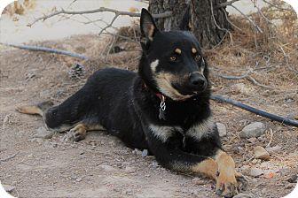 Australian Kelpie/Cattle Dog Mix Dog for adoption in Alamogordo, New Mexico - Miles