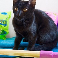 Adopt A Pet :: Sherlock - Oviedo, FL