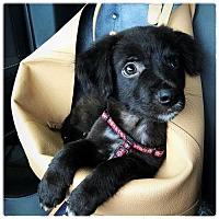 Adopt A Pet :: Chevy - Royal Palm Beach, FL