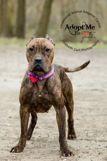 Boxer Mix Dog for adoption in Lindenwold, New Jersey - Sandra Dee