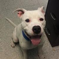 American Pit Bull Terrier Mix Dog for adoption in Greenville, Pennsylvania - Bentley