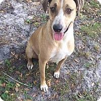 Hound (Unknown Type)/Labrador Retriever Mix Dog for adoption in Palm City, Florida - Maize