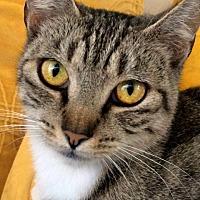 Adopt A Pet :: Kitsa - San Jose, CA