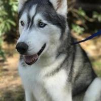 Adopt A Pet :: Sabar - Scottsdale, AZ