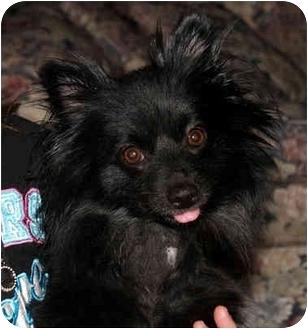 Pomeranian Mix Dog for adoption in Troy, Michigan - Sheila