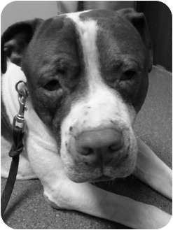 American Pit Bull Terrier Mix Dog for adoption in Hoffman Estates, Illinois - Henney