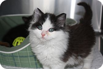 Domestic Mediumhair Kitten for adoption in Armuchee, Georgia - Laddie