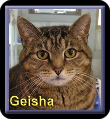 Domestic Shorthair Cat for adoption in Aldie, Virginia - Geisha