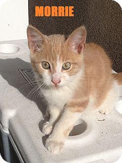 Domestic Shorthair Kitten for adoption in River Edge, New Jersey - Morrie