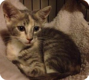 Domestic Shorthair Kitten for adoption in Gainesville, Florida - Dolce