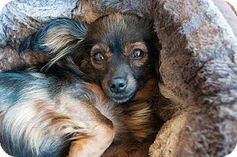Dachshund/Chihuahua Mix Dog for adoption in Santa Monica, California - Nipsy