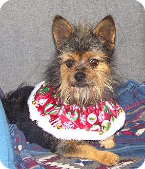 Maltese/Yorkie, Yorkshire Terrier Mix Dog for adoption in Minneapolis, Minnesota - Toto
