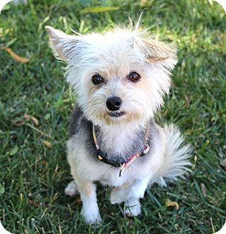 Yorkie, Yorkshire Terrier/Terrier (Unknown Type, Small) Mix Dog for adoption in Yorba Linda, California - Suzi-Q