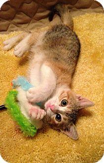 Domestic Shorthair Kitten for adoption in Mansfield, Texas - Sapphire