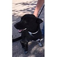 Adopt A Pet :: Sox - Tempe, AZ
