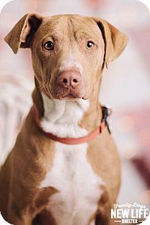 Pit Bull Terrier/Vizsla Mix Dog for adoption in Portland, Oregon - Doogie