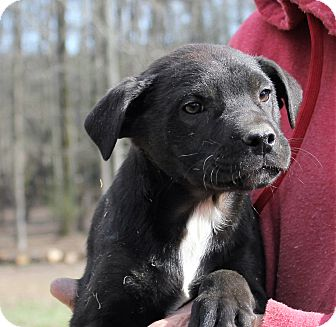 Australian Shepherd/Bullmastiff Mix Puppy for adoption in Colonial Heights, Virginia - Limmerick
