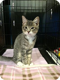 Domestic Shorthair Kitten for adoption in Arlington/Ft Worth, Texas - Jace