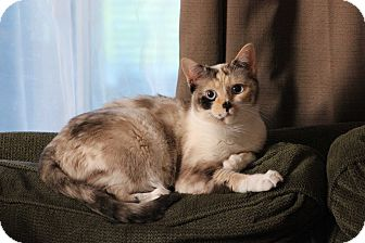 Siamese Cat for adoption in Hanover, Ontario - Zoey