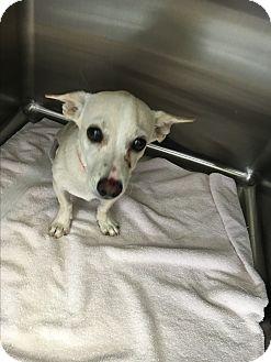 Corgi/Chihuahua Mix Puppy for adoption in Phoenix, Arizona - Jovanni