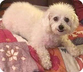 Bichon Frise/Poodle (Miniature) Mix Dog for adoption in Boulder, Colorado - Snow-ADOPTION PENDING