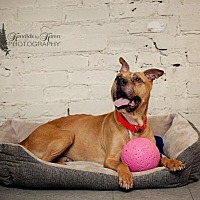 American Bulldog/Terrier (Unknown Type, Small) Mix Dog for adoption in Valparaiso, Indiana - Barney