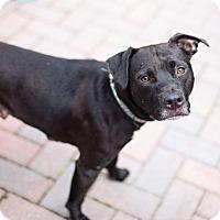 Adopt A Pet :: Mamma Diamond - Reisterstown, MD
