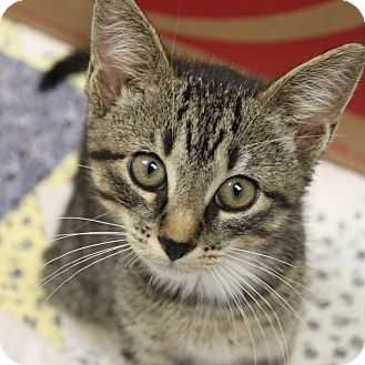 Domestic Shorthair Kitten for adoption in Naperville, Illinois - Chicken