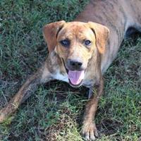 Adopt A Pet :: 35929764 - Cleveland, AL