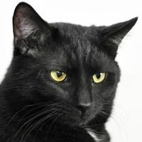 Adopt A Pet :: Black Diamond - Tilton, IL