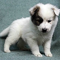 Adopt A Pet :: Karla - Westminster, CO
