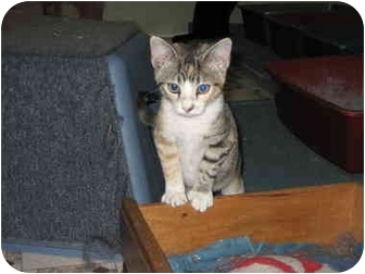 Domestic Shorthair Cat for adoption in Terre Haute, Indiana - Buffy