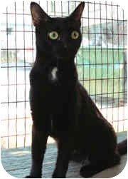 Domestic Shorthair Cat for adoption in Milton, Massachusetts - Sabrina