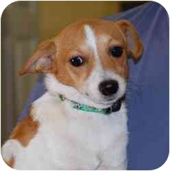 Chihuahua Mix Dog for adoption in Gallatin, Tennessee - Turner