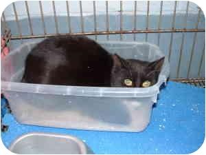 Domestic Shorthair Cat for adoption in McDonough, Georgia - Kitty Carson